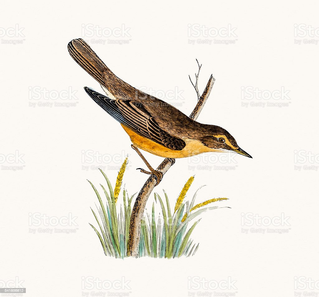 Marsh Warbler vector art illustration