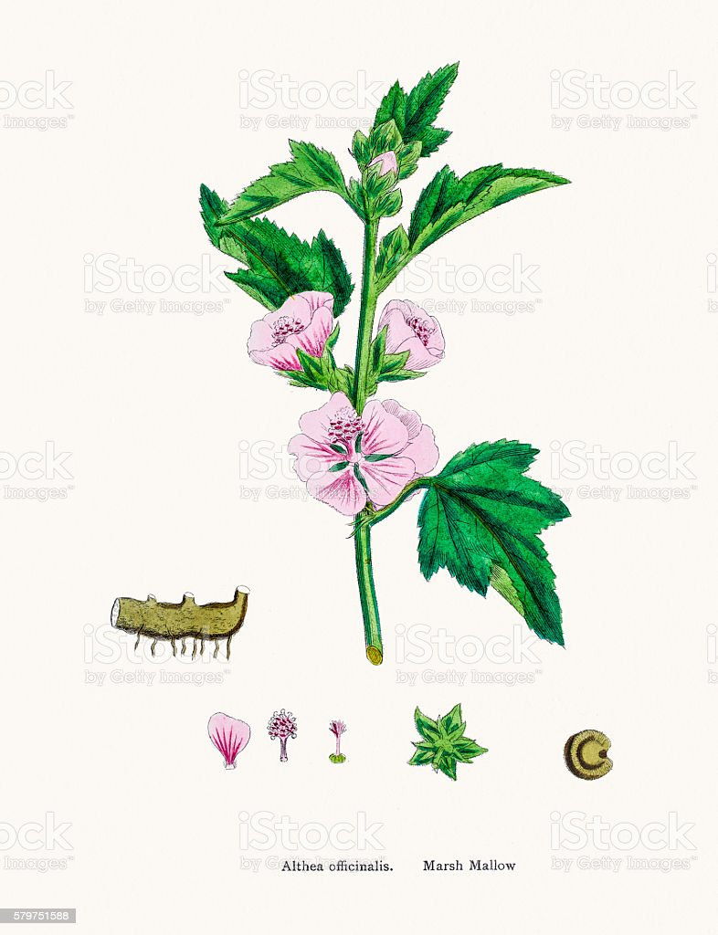 Marshmallow plant used to treat ulcer vector art illustration