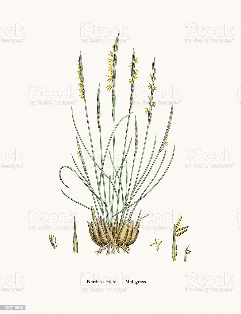 Matgrass used against fever and as tonic vector art illustration