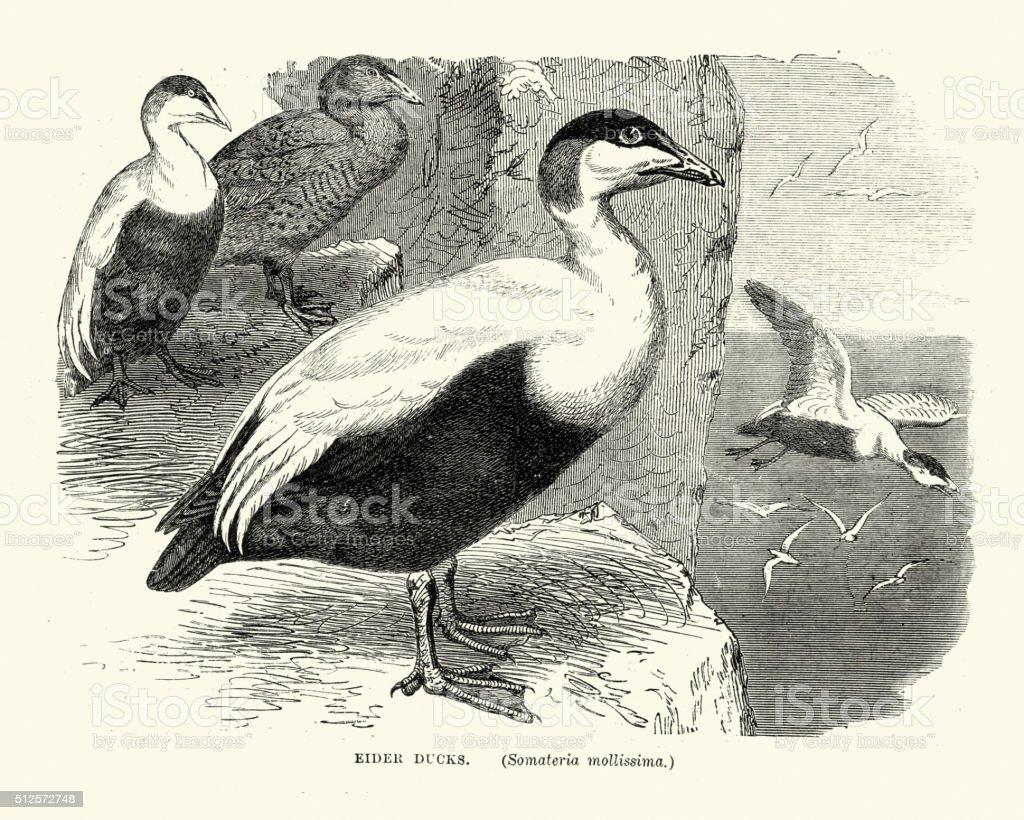 Matural History Birds - Common eider vector art illustration