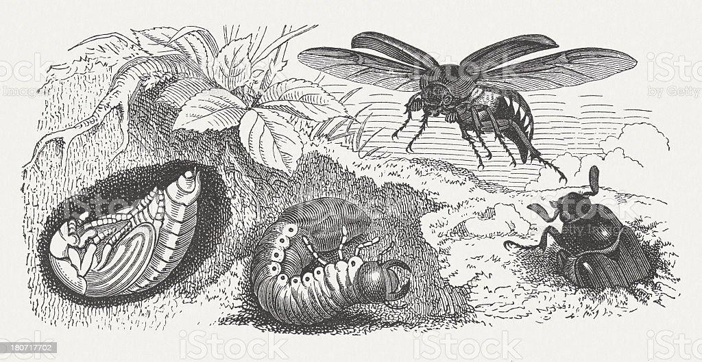 May bug vector art illustration