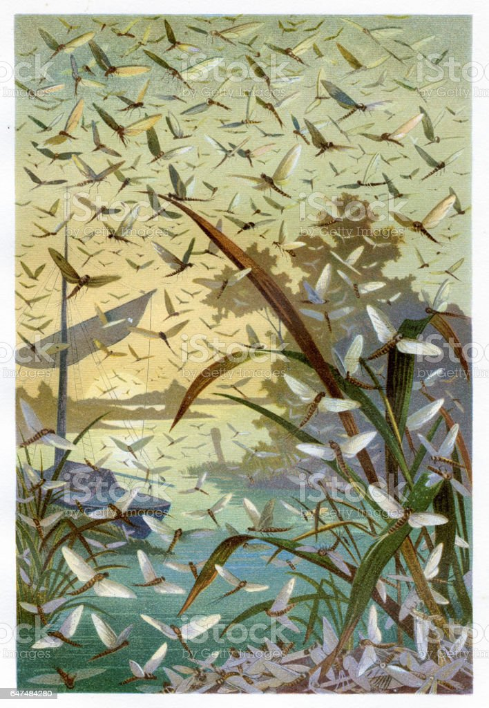 Mayflies Chromolithograph 1884 vector art illustration