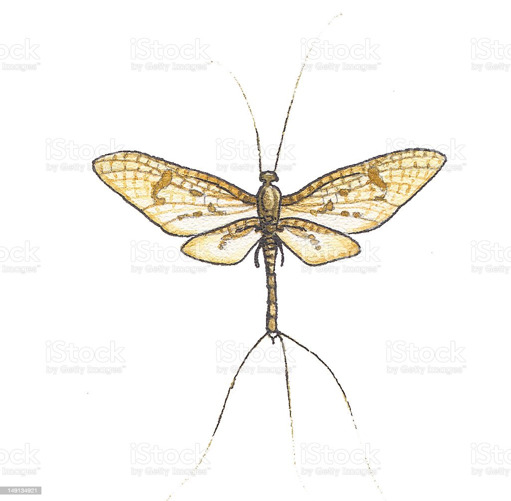 Mayflies (Ephemera vulgata). vector art illustration