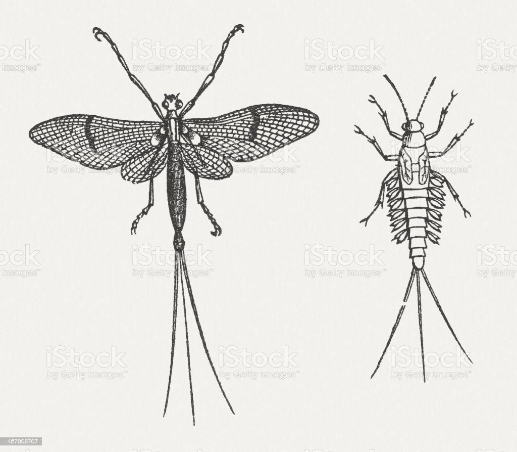 Mayfly (Ephemera vulgata) and larva, wood engraving, published in 1865 vector art illustration