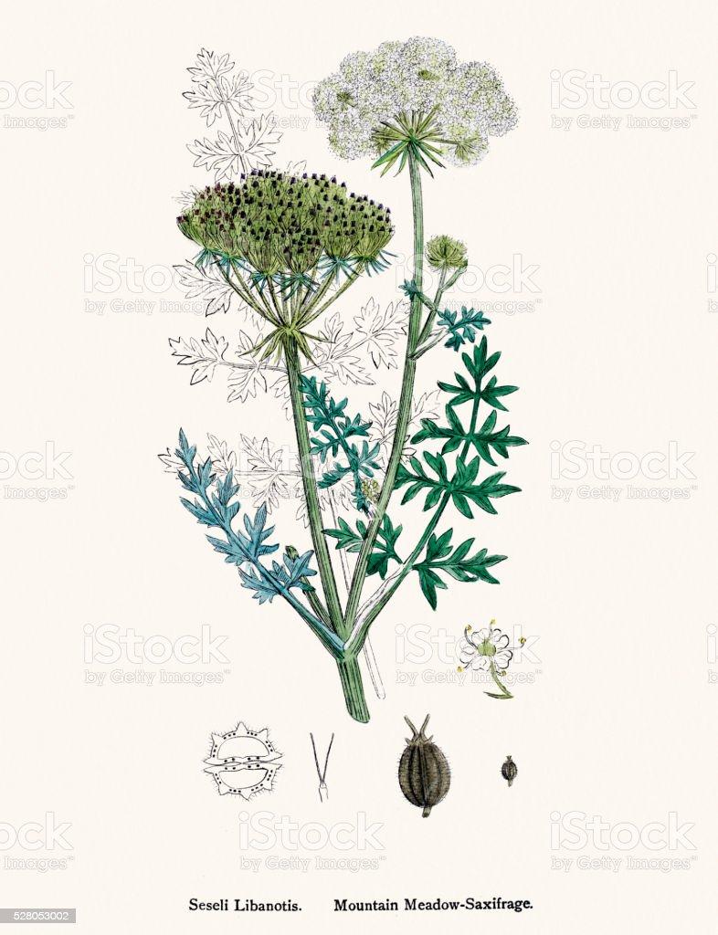 Meadow saxifrage plant (Seseli libanotis) scientific illustration vector art illustration