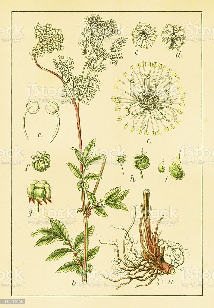 Meadowsweet   Antique Flower Illustrations royalty-free stock vector art