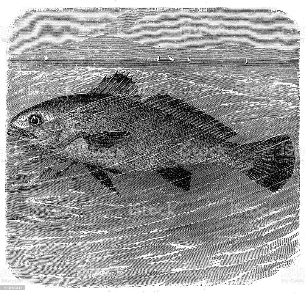 Meagre (Argyrosomus regius) vector art illustration