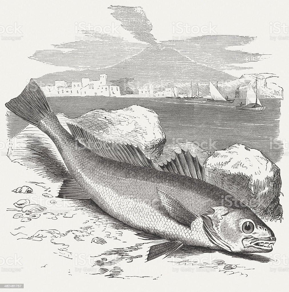 Meagre (Argyrosomus regius), wood engraving, published in 1884 vector art illustration