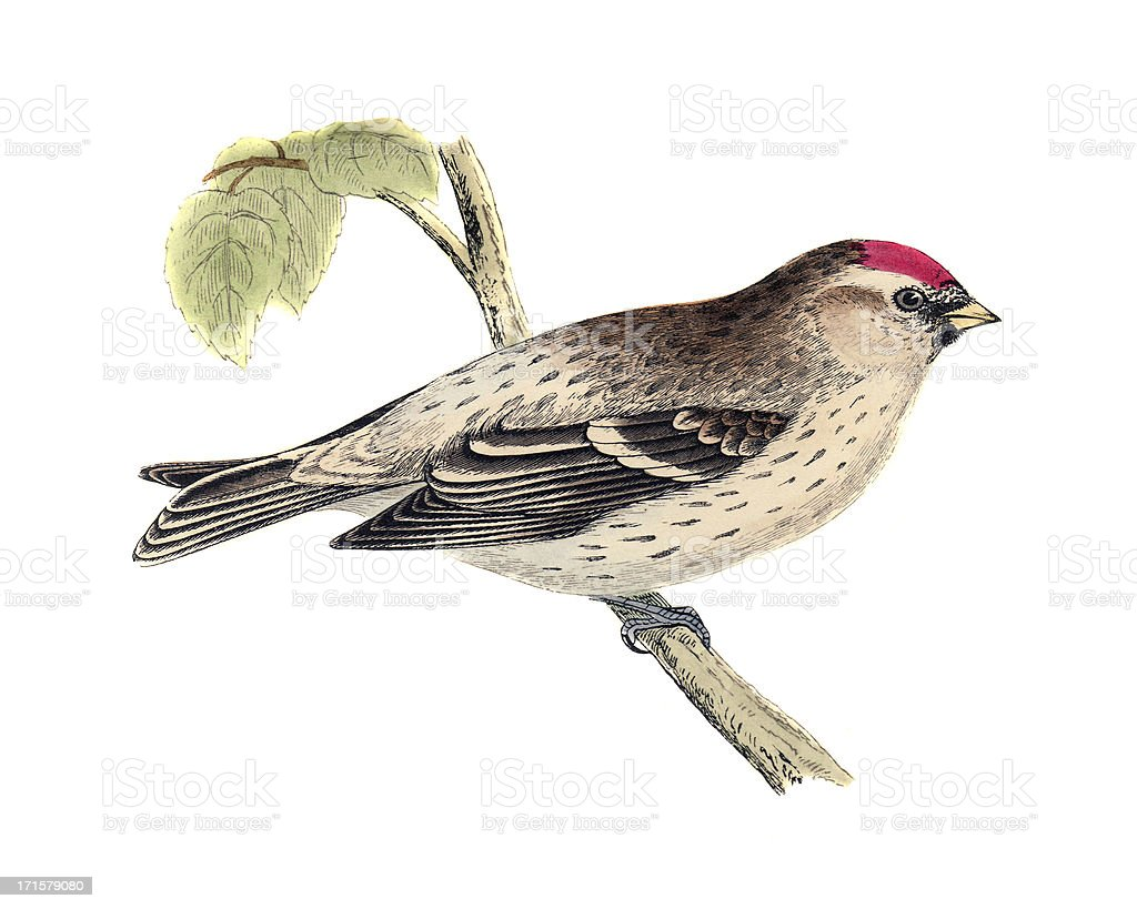 Mealy Redpoll - Hand Coloured Engraving vector art illustration