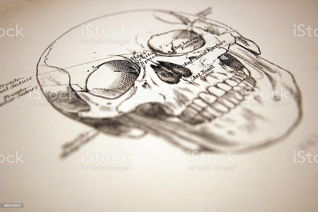 Medical Illustration of a Human Skull vector art illustration