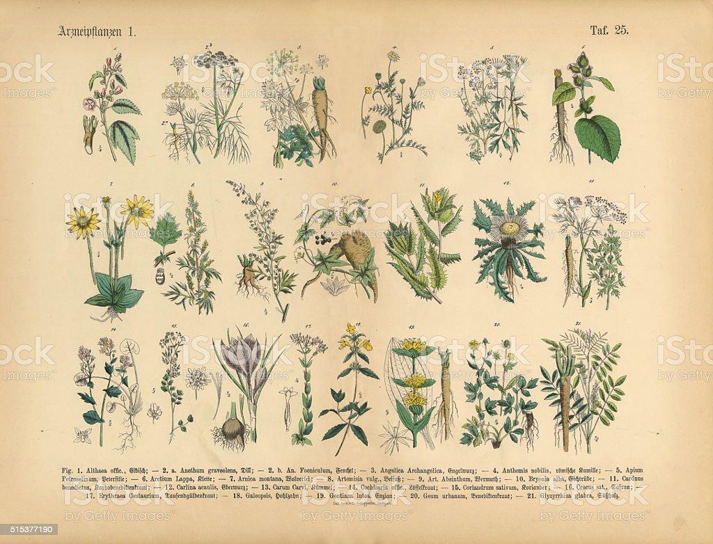 Medicinal and Herbal Plants, Victorian Botanical Illustration vector art illustration