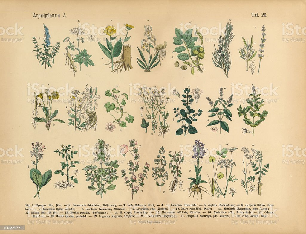 Medicinal and Herbal Plants, Victorian Botanical Illustration stock photo