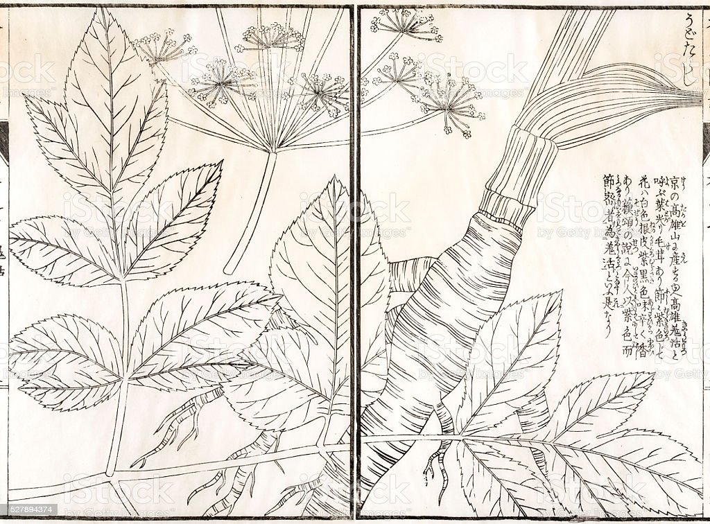 Medicinal plant, 19 century Japanese botanical illustration vector art illustration