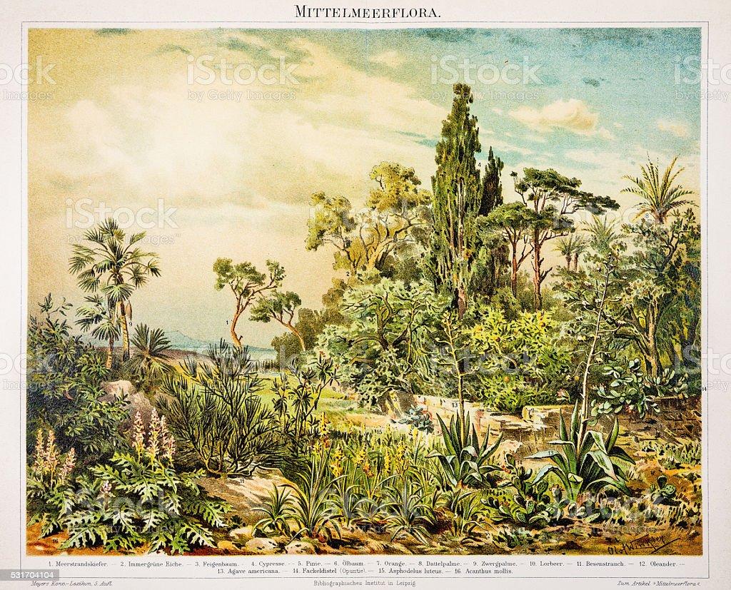 Mediterranean flora engraving 1896 vector art illustration