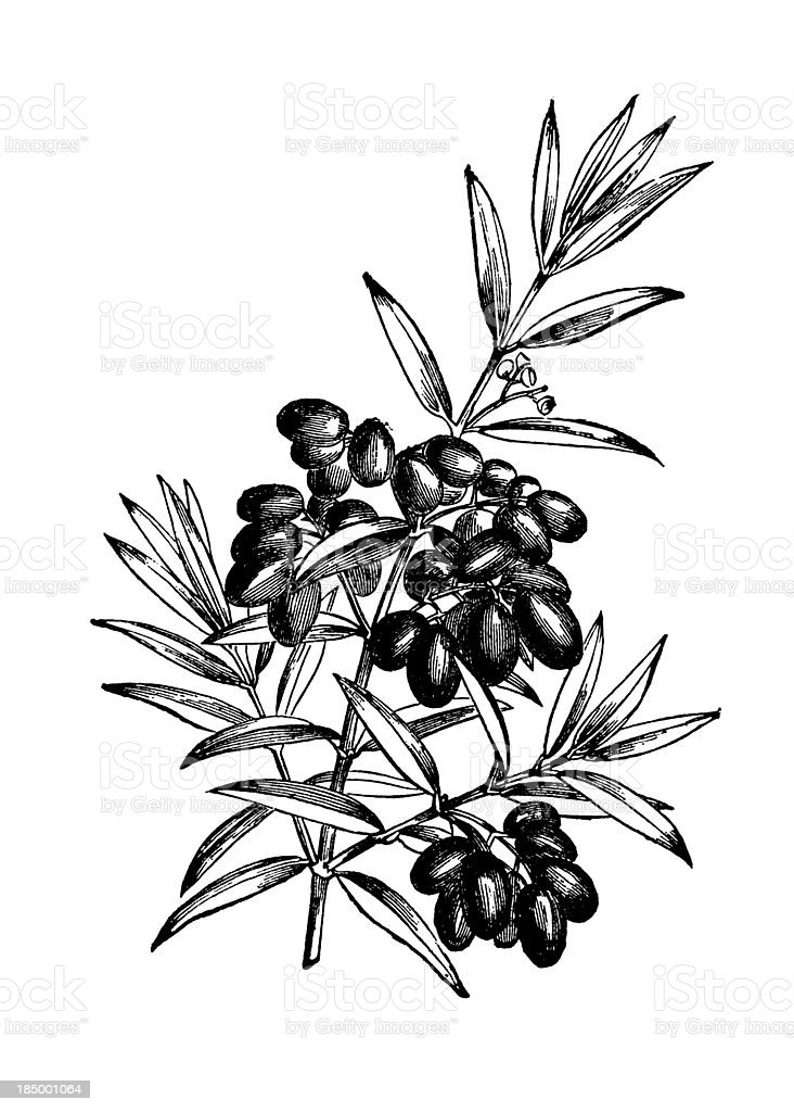 Mediterranean Olive Tree Branch with Fruits Illustration | Vintage Clipart vector art illustration