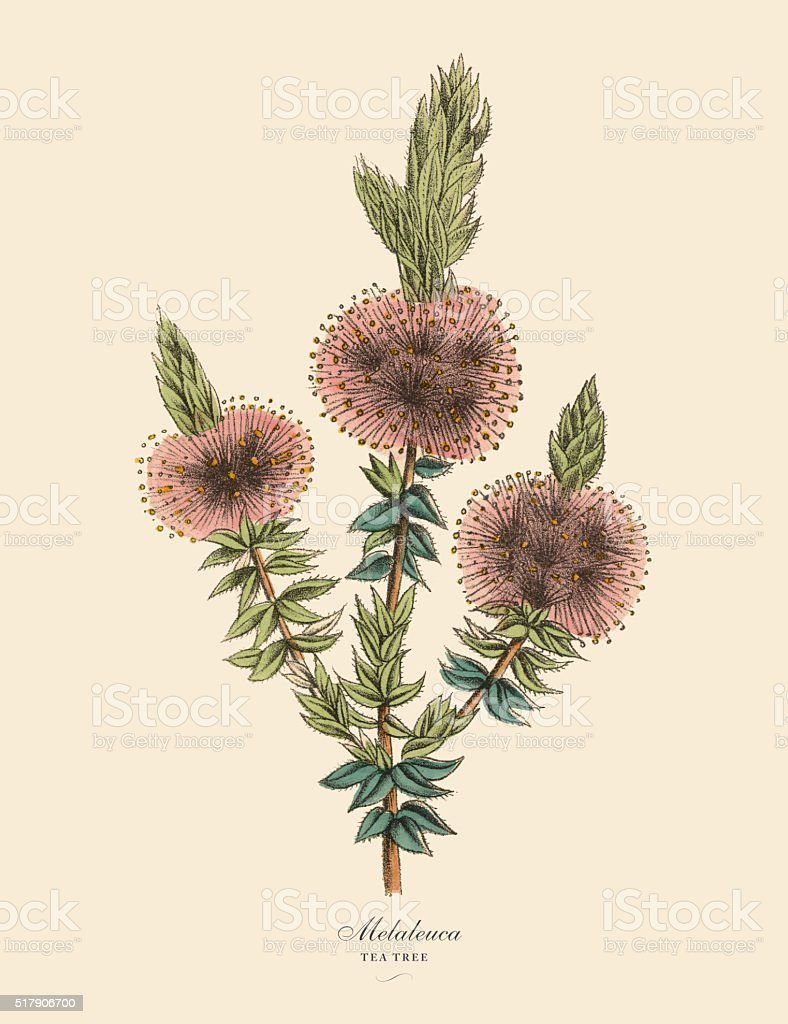 Melaleuca or Tea Tree Plant, Victorian Botanical Illustration vector art illustration