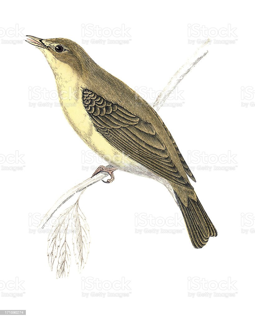 Melodious Willow Warbler - Hand Coloured Engraving royalty-free stock vector art