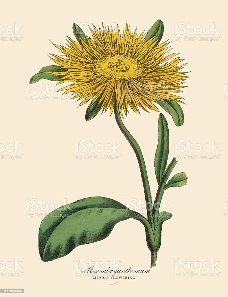 Mesembryanthemum Plant, Victorian Botanical Illustration vector art illustration