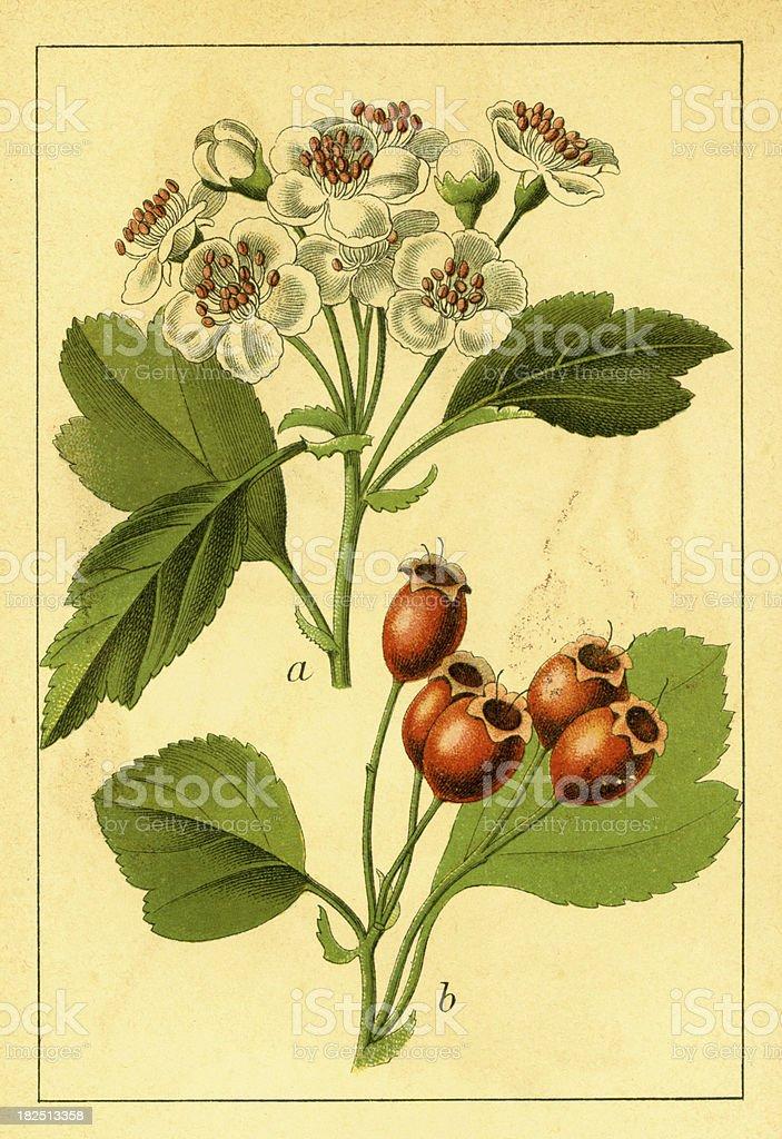 Midland hawthorn | Antique Flower Illustrations royalty-free stock vector art