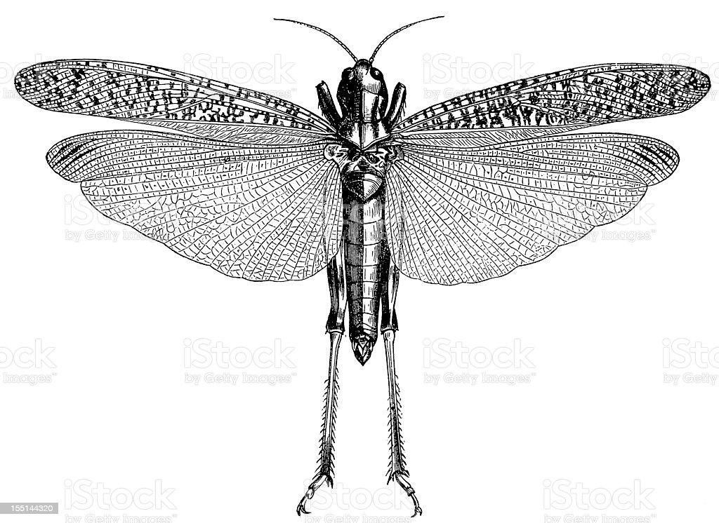 Migratory Locust (Locusta Migratoria) royalty-free stock vector art