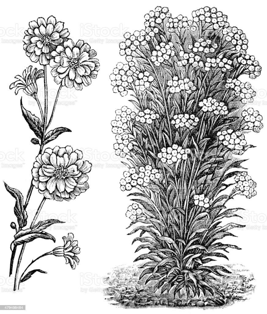 milfoil vector art illustration