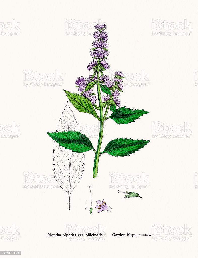 Mint plant vector art illustration
