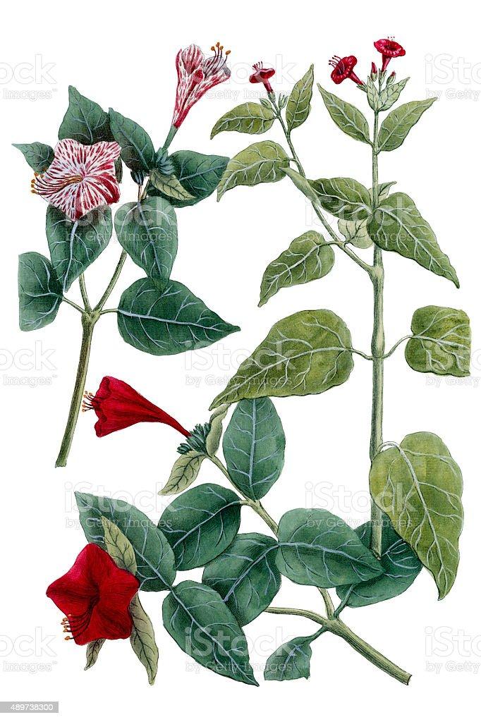 Mirabilis plant isolated on white, a 18th century botanical illustration vector art illustration