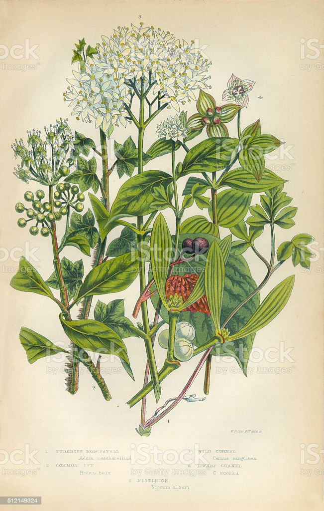 Mistletoe, Ivy, Cornet, Trumpetflower, Moschatell, Victorian Botanical Illustration vector art illustration