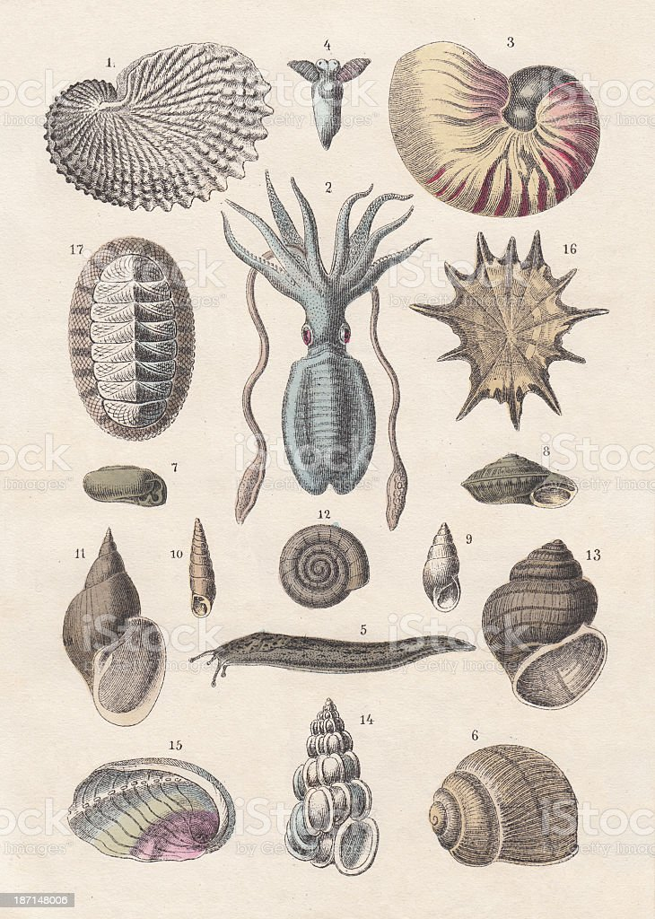 Mollusca, hand-coloured lithograph, published 1880 stock photo