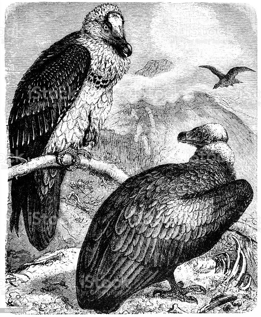 Monk Vulture (Aegypius monachus) and Bearded Vulture (Gypaetus barbatus) vector art illustration