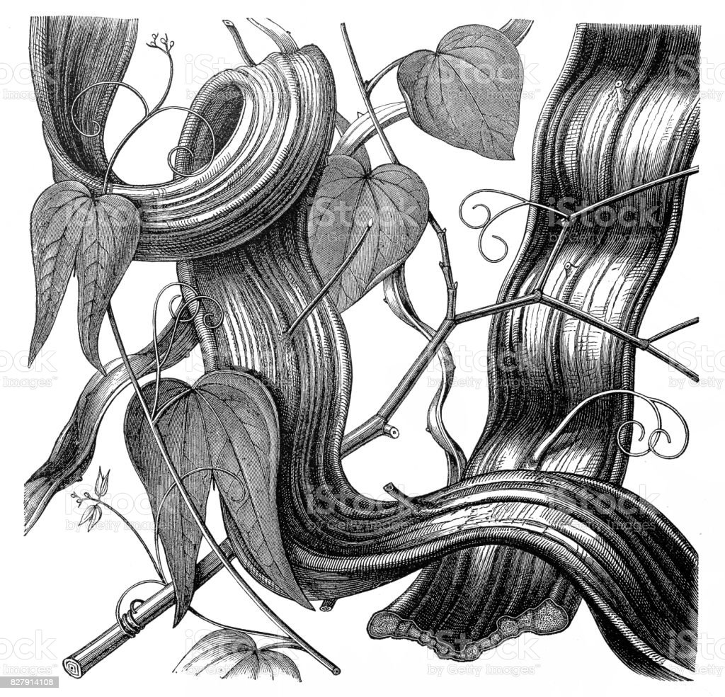 Monkey Ladder lianas (Bauhinia anguina) vector art illustration