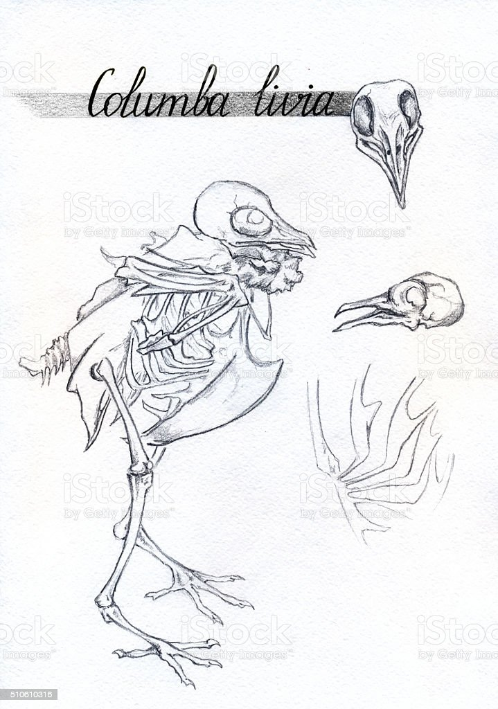 Monochrome skeleton skull bones dove pigeon bird animal ink sketch vector art illustration
