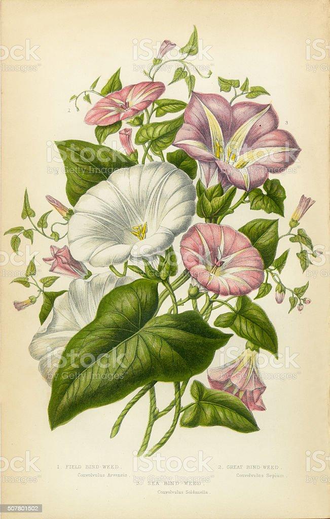 Morning Glory, Bindweed, Victorian Botanical Illustration stock photo