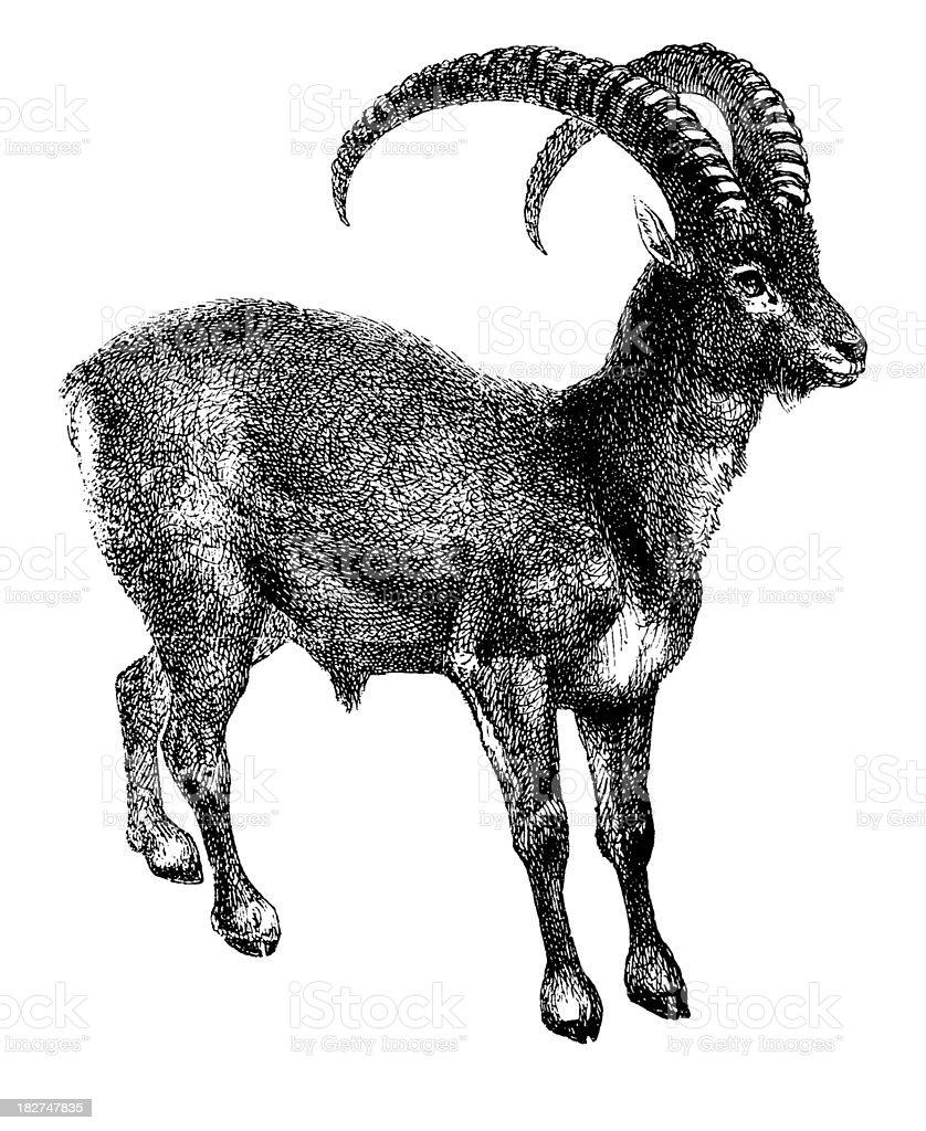 Mouflon | Antique Animal Illustrations vector art illustration