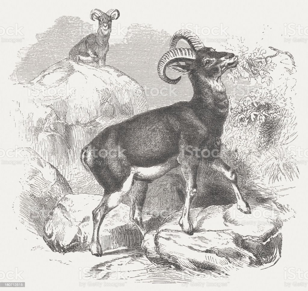 Mouflon (Ovis aries orientalis group), wood engraving, published in 1875 royalty-free stock vector art