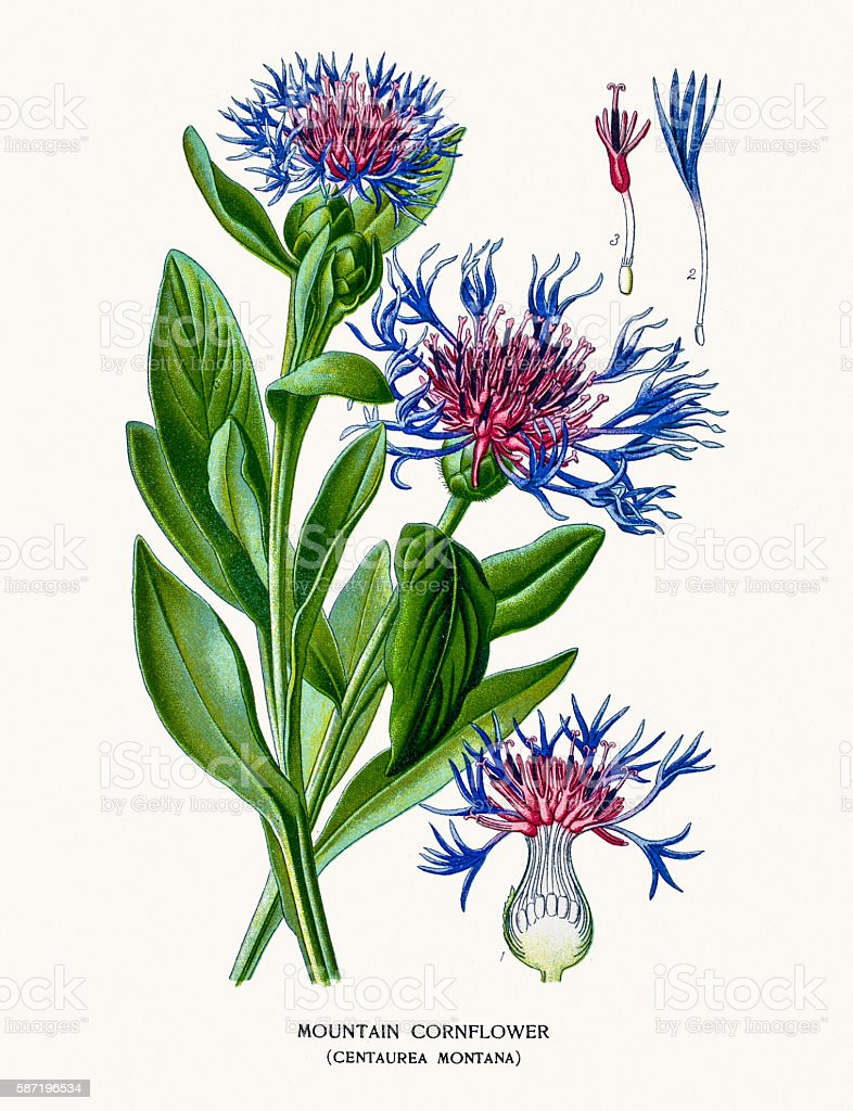 Mountain cornflower, vector art illustration