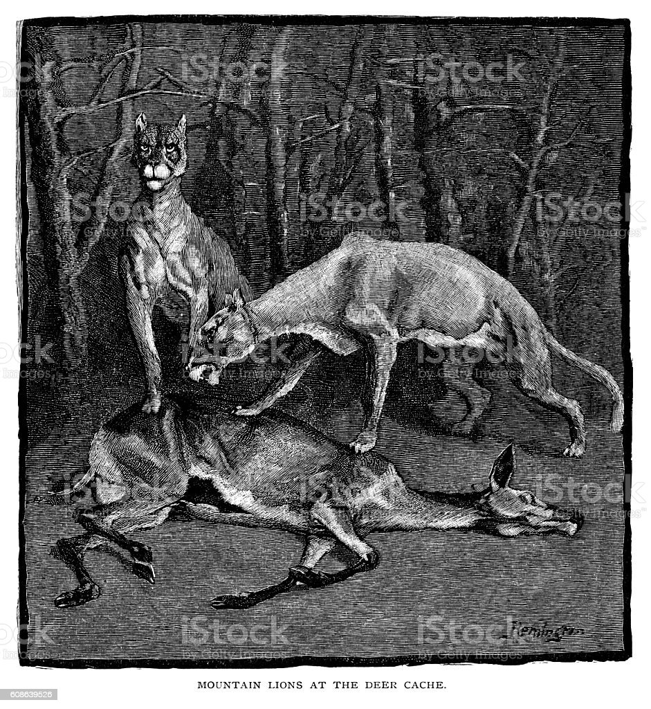 Mountain lions at the deer cache vector art illustration