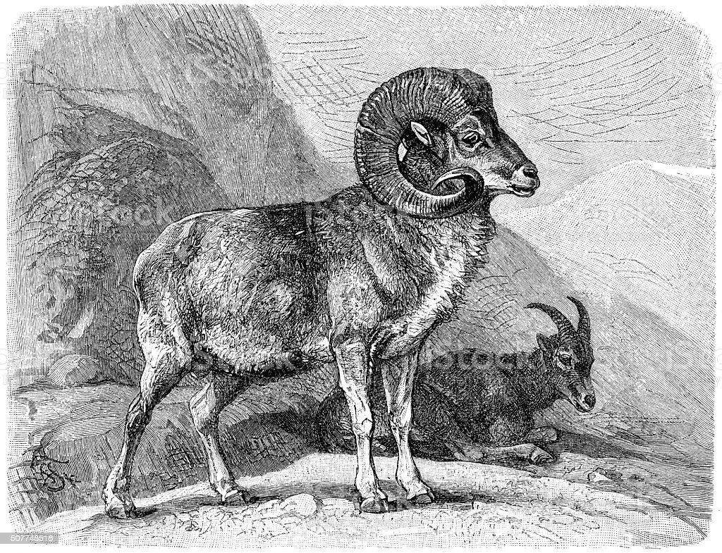Mountain sheep (Ovis ammon) vector art illustration