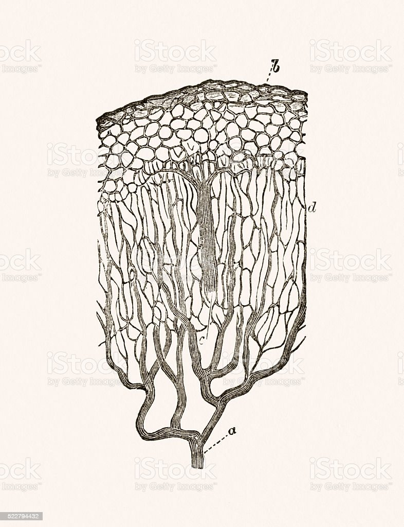 Mucous cells of the intestine 19 century medical illustration vector art illustration