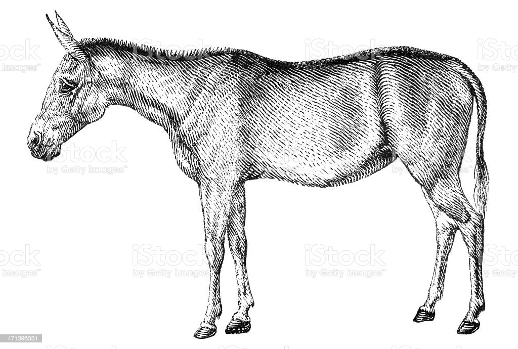 Mule vector art illustration