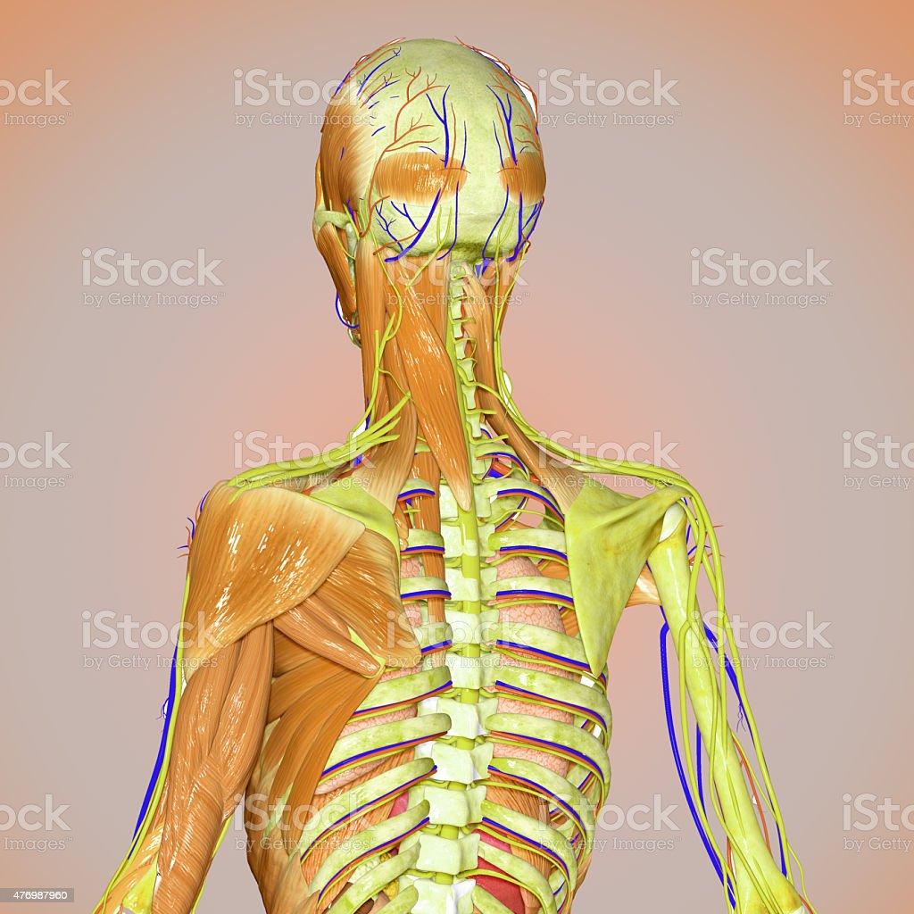 Muscles and skeleton back vector art illustration