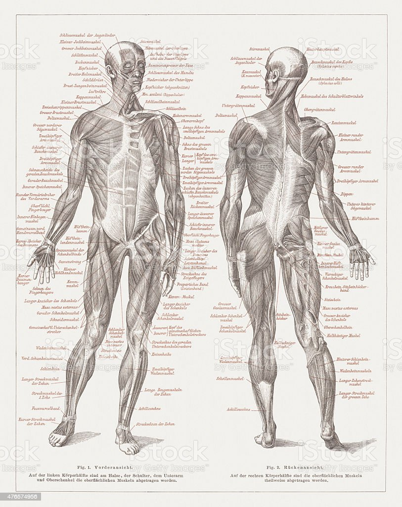 Muscles of man, published in 1877 vector art illustration