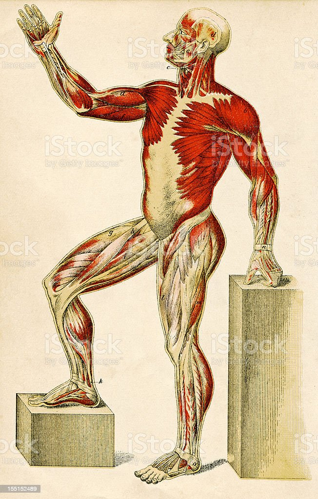 Muscles Of The Human Body royalty-free stock vector art