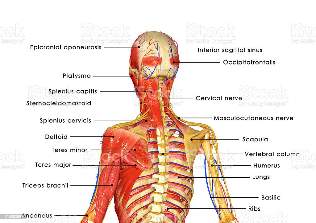 Muscular body anatomy labelled vector art illustration