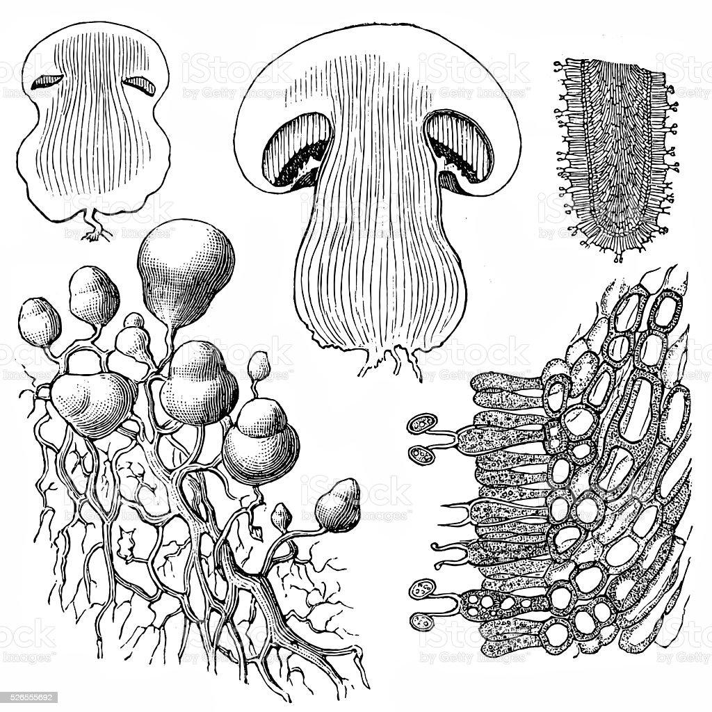 """Mushroom """"champignon"""" vector art illustration"""