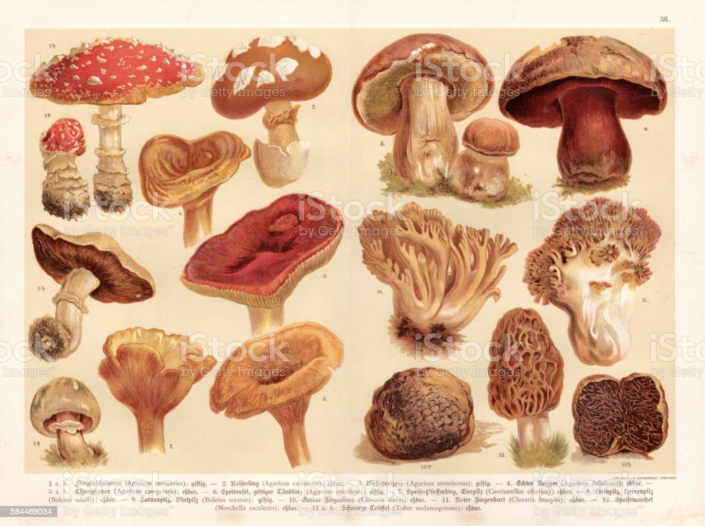 Mushrooms engraving 1888 vector art illustration