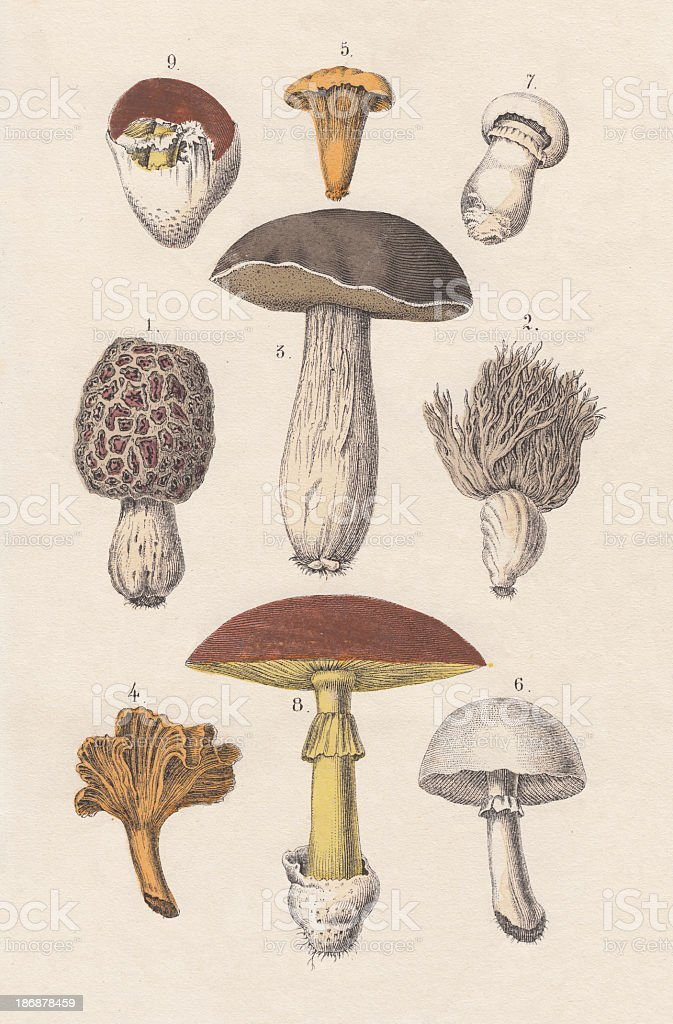 Mushrooms, hand-colored lithograph, published in 1880 vector art illustration
