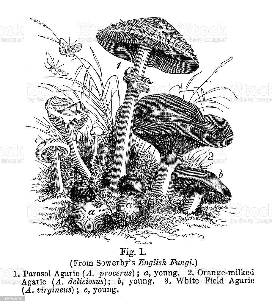 Mushrooms vector art illustration