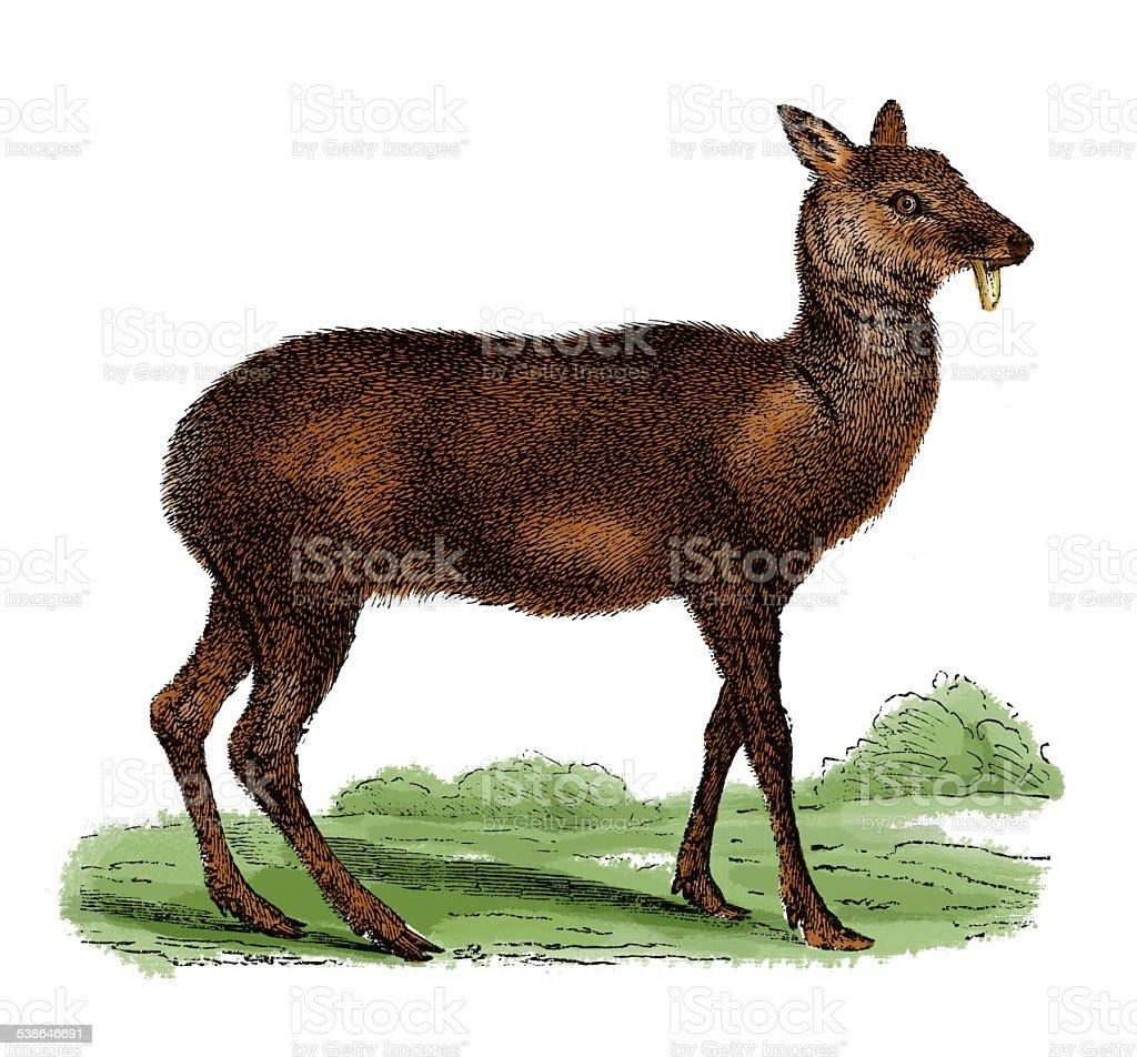 Musk deer (antique engraving) vector art illustration