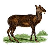 Musk deer (antique engraving)